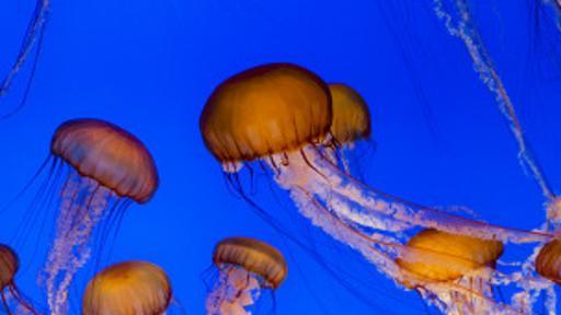 La población de medusas suele crecer rápidamente y así como aparecen, desaparecen. (BBC)