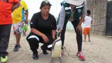 Pingüino rescatado de vivienda fue llevado a zoológico [FOTOS]