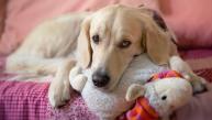 ¿Cómo manejar un embarazo psicológico en tu perro?