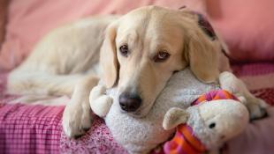 ¿Cómo manejar un embarazo psicológico en tu mascota?