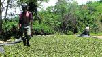 Enaco y su coca podrían abastecer la industria de chocolate - Noticias de hipertensión