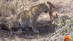 Leopardo no ataca a débil impala y juega con ella en raro video - Noticias de parque nacional kruger