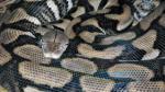 Los misteriosos animales que escogen no aparearse aunque pueden - Noticias de apareamiento