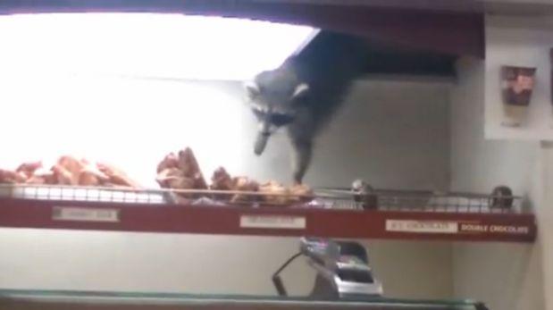 Mapache muestra impresionante talento para robar donuts [VIDEO]