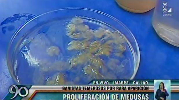 Alertan sobre proliferación de hidromedusas en playas de Lima