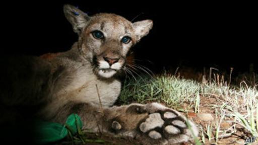 [Foto] El león que tenía una dentadura completa en la cabeza