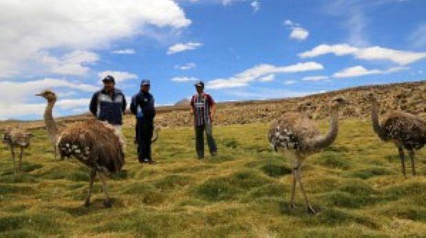 Serfor realizará censo del ñandú petizo en altiplano peruano