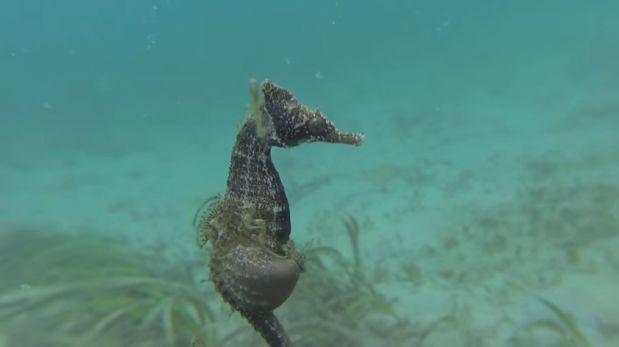 Este es el instante en que un caballito de mar da a luz [VIDEO]