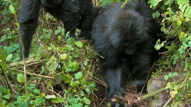 Jóvenes gorilas han aprendido a destruir trampas de cazadores