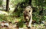 Captan al único jaguar que vive en libertad en EE.UU. [VIDEO]