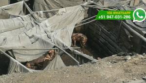 Ate: vecinos incómodos por corral de chanchos en zona urbana