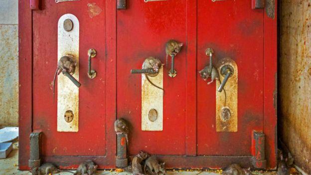 Según la leyenda local, estas ratas negras son la rencarnación de una deidad hindú y su casta. (Foto: Alamy)
