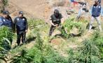 Áncash: decomisan 4.500 plantones de marihuana y explosivos