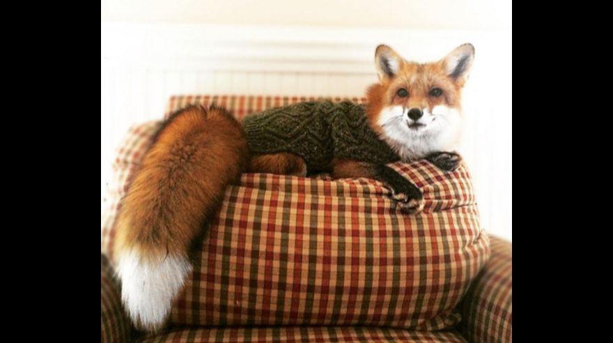Instagram: Mira cómo es vivir con un zorro en casa [FOTOS]