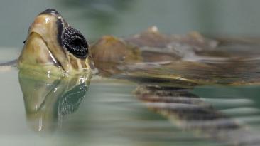 Centro francés se dedica a salvar tortugas en peligro