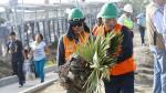Palmeras del Derby en Surco replantadas cerca del Puente Alipio - Noticias de puente alipio ponce
