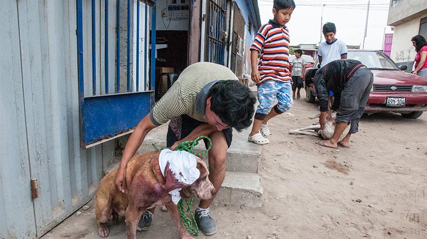 Johan Cornejo ayuda a su perro Ruffo a caminar para ingresar a sala de operaciones. El animal apenas se puede mover.