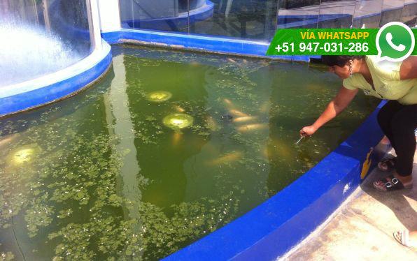Whatsapp peces de pileta del municipio de sjl viven en for Peces de agua estancada
