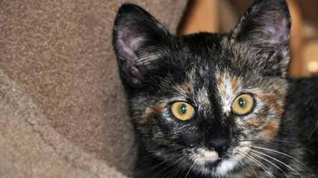Gata carey. Según la cultura celta tener una gata tricolor en casa trae fortuna al hogar.