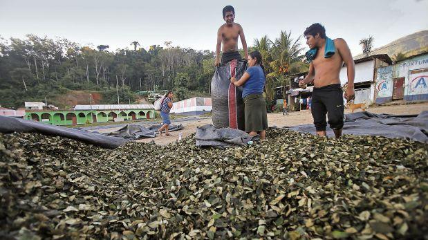 Vraem: el precio de la hoja de coca disminuyó drásticamente