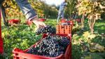 El cambio climático modifica las etapas de elaboración del vino - Noticias de sequía en ee.uu.