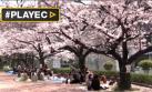 Japón se vuelve rosa con el sakura, época de cerezos en flor