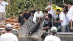 Loreto: liberan a 3 manatíes por el Día de la Tierra - Noticias de chino valera