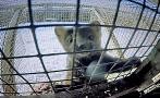 Así viven los animales con los que hacen los abrigos más caros