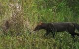 Fotografían por primera vez un perro de monte en selva de Puno
