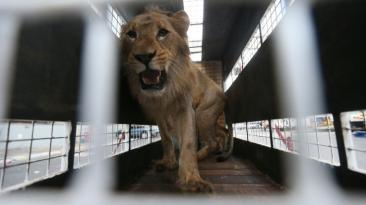 El renacer de 33 leones salvados del cautiverio [FOTOS]