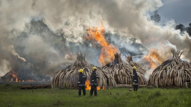 """El presidente de Kenia prendió fuego el sábado a 105 toneladas de marfil en el parque nacional de Nairobi, la mayor cantidad de """"oro blanco"""" jamás incinerado en una sola vez, un acto simbólico para luchar contra la caza furtiva de los elefantes. (AP)"""