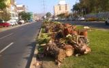 Los Olivos: Lima reconoce que autorizó tala a pedido de empresa