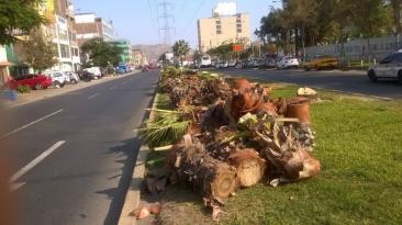 Los Olivos: talan palmeras en importante avenida [FOTOS]