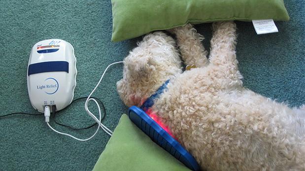 Este perro descansa mientras se le aplica terapia con luz infrraroja, la que busca aminorar los síntomas.