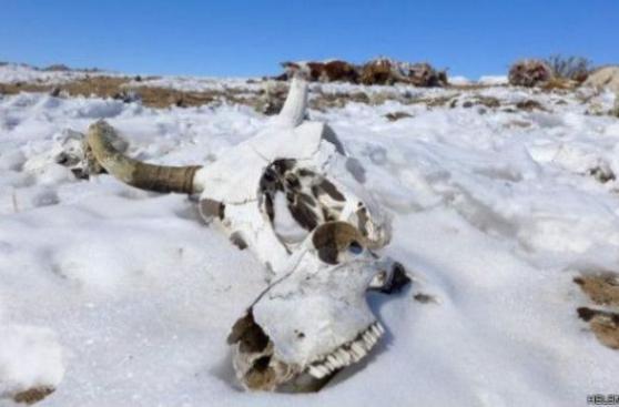 Dzud, el 'asesino' de animales de las estepas de Mongolia