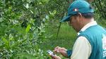 Senasa declara en alerta fitosanitaria la citricultura local - Noticias de tumbes