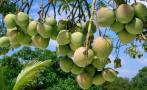 Piura forma un clúster para mejorar competitividad del mango