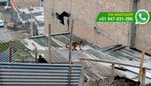 Animal exótico es amarrado en techo de casa de VMT