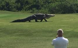 Jugaban al golf y los sorprendió un enorme cocodrilo [VIDEO]