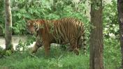 Comienza evacuación de tigres en templo de Tailandia
