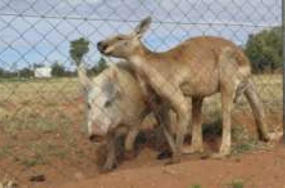 La curiosa relación amorosa entre un cerdo y un canguro