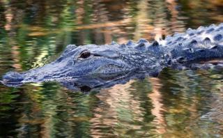 Disney sacrifica a 4 caimanes en busca de los restos del niño