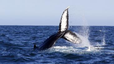 Ballenas jorobadas: empezó el avistamiento en Piura [FOTOS]
