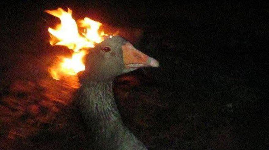 Resultado de imagen para ganso ardiendo
