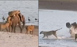YouTube: pequeño elefante se enfrentó solo a manada leones