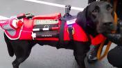 El perro de rescate de la PNP que lleva una cámara gopro