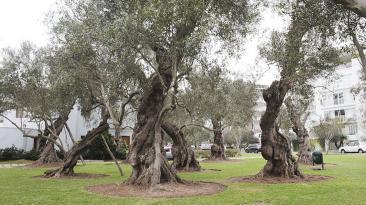 La agonía de El Olivar: 11 árboles virreinales a punto de morir