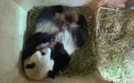 Bebes pandas superan los 15 días en cumpleaños de su hermano