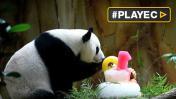 Pandas celebraron así cumpleaños en Kuala Lumpur [VIDEO]