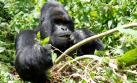 El gorila más grande del mundo está en peligro de extinción